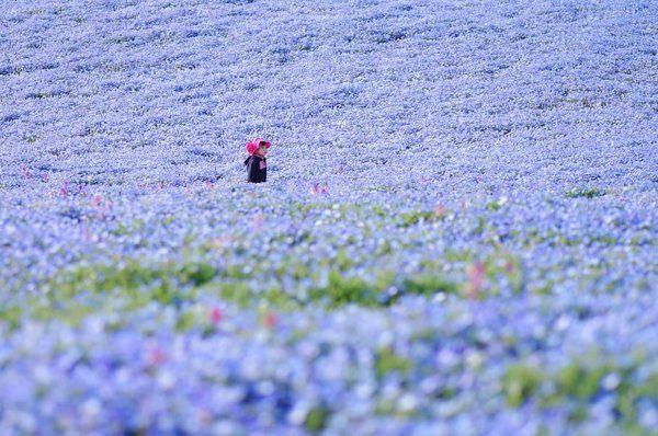 Égszínkék virágtengerré változott a Japán tengerpart | Diamonds