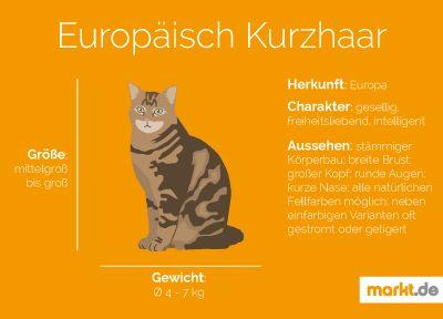 Europäisch Kurzhaar | markt.de #katzen #rasseportrait #infografik #fakten #infos #charakter #eigenschaften #zucht #europäisch #kurzhaar