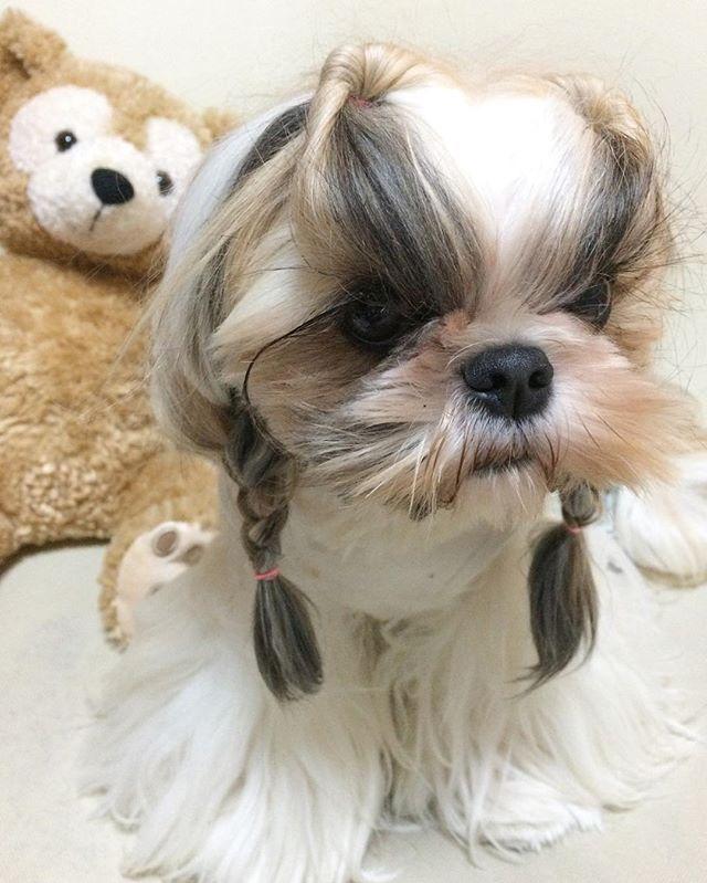 クルリンパ➕三つ編み かわゆい❤️お留守番ヘアです。  #ヘアスタイル #三つ編み #くるりんぱ #ヘアアレンジ #グルーミング #可愛いわんこ #おんなのこ #ダッフィー  #시추 #シーズー #シーズー大好き部 #トップノット #ちょんまげシーズー #おさげ #shihtzu #shihtzulove #shihtzusofinstagram #shihtzupuppy #puppy #dog #pet #woof #わんこ #犬好き #いぬ #犬のいる暮らし #ペットは家族 #わんこ大好き #igdog #ilovemydog