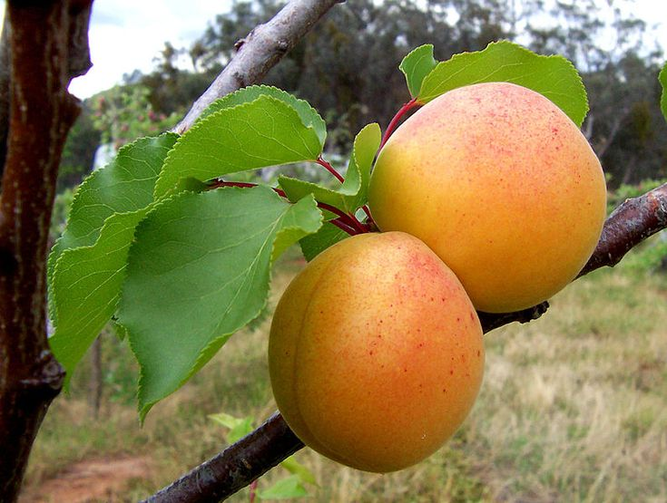 Health Benefits Apricots, Nutrition Facts, Culinary Uses, Recipes