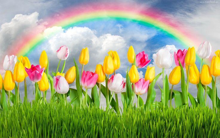 Kwiaty, Tulipany, Tecza