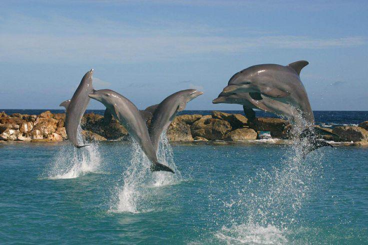 ik heb in curaçao gezwommen met dolfijnen dat was echt mijn droom !
