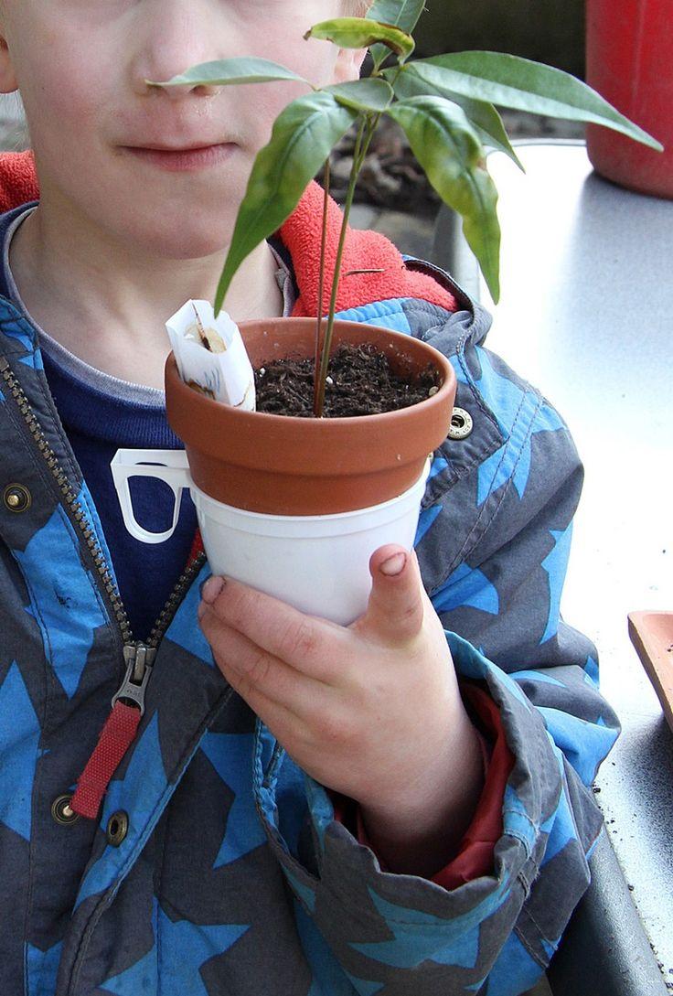 """Ideen zum Gärtnern mit Kindern kommen oft auch von den Kindern selbst: Meine Tochter Elena kam """"Zwischen den Jahren"""" als wir frische Litschis gegessen haben, auf die Idee, dass man die Kerne doch sicher auch pflanzen kann..."""