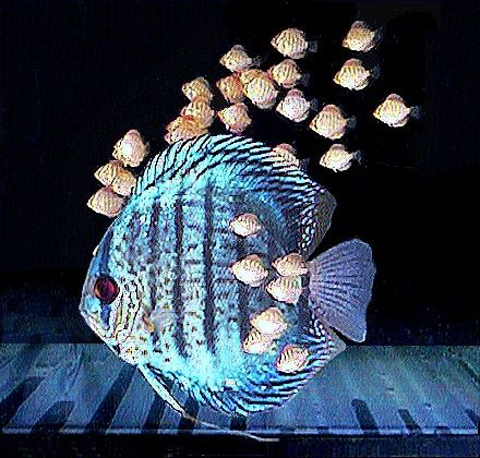 A discus fish and its babies.