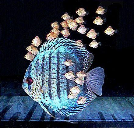 Fish Species n.3 - Discus (Symphysodon discus) - Feast Eyes