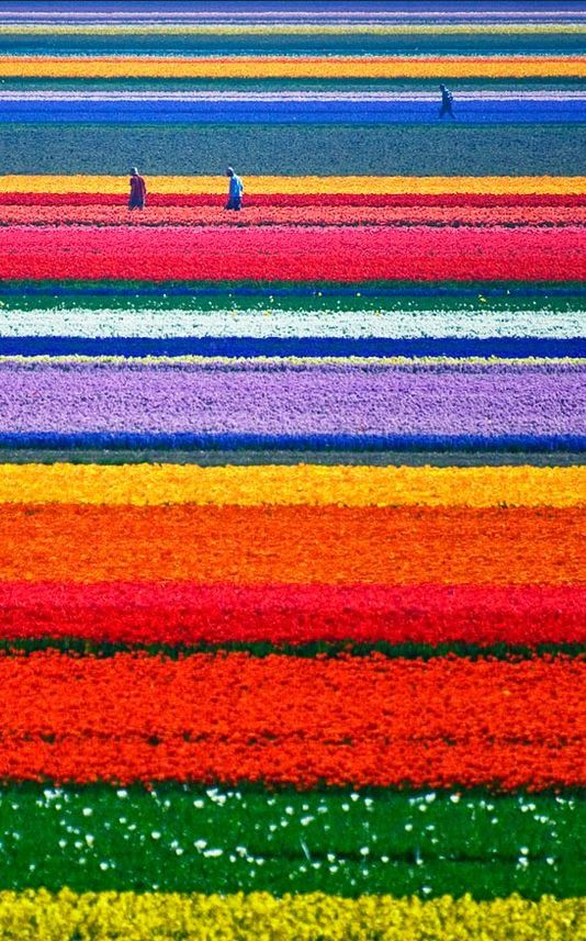 Fascinating Places Never to be Missed - Tulip Fields, Netherlands. More wanderlust: www.followthevista.com