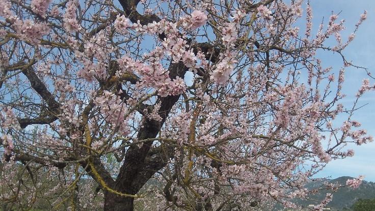 Mandelblüte auf Malle