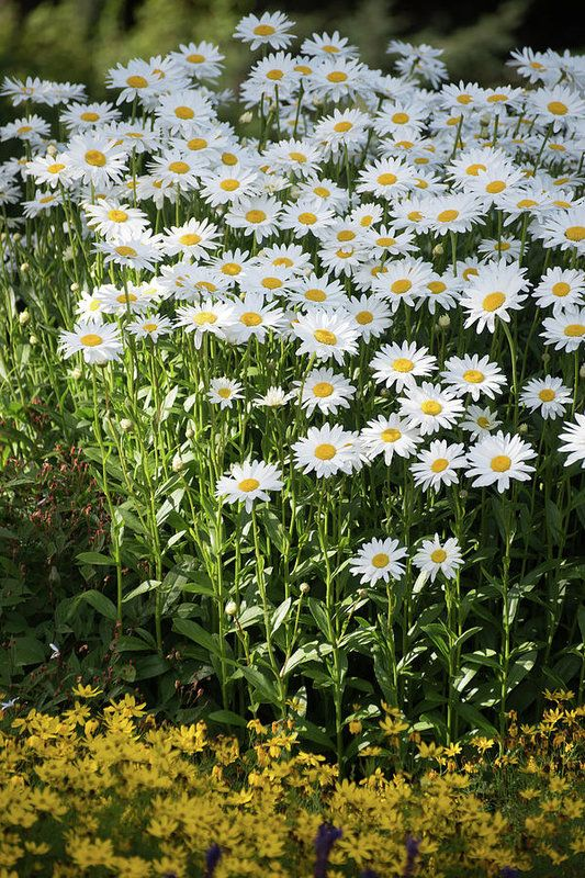 Nothing says summer like a patch of daisies.  Now it can be summer all year round with prints of these beautiful flowers!