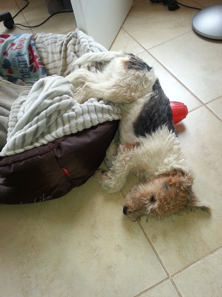 189 best Dogs images on Pinterest | Wire fox terriers, Cute dogs ...
