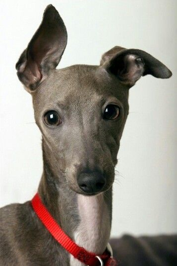 Italian Greyhound - Who can resist this face? Not me! (I've seen a number of National Mill Dog rescues of this breed.)