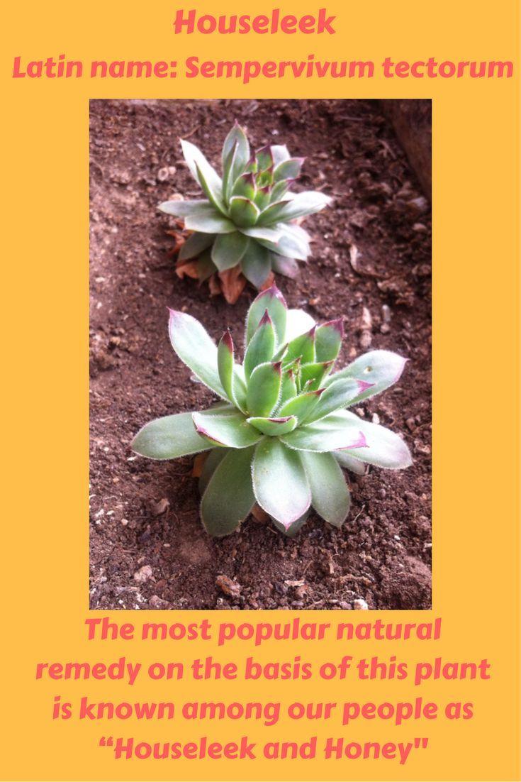 461154cc60555eac8a0995d1e7bf2f47--diuretic-form-of Houseleek Plant Fights Cysts on birch plant, yarrow plant, perennial plant, goat's beard plant, poppy plant, sage plant, gold flower plant, lemon balm plant, hops plant, lemon verbena plant, holly plant, thyme plant, catmint plant, scilla violacea plant, hellebore plant, hyssop plant, lady's mantle plant, daffodil plant, bottling plant,