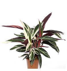 Calathea Multicolor Rp 33,000
