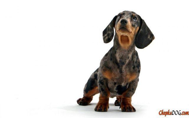 Cani da caccia sono un gruppo di razze specializzate di cani destinati alla caccia di animali selvatici.