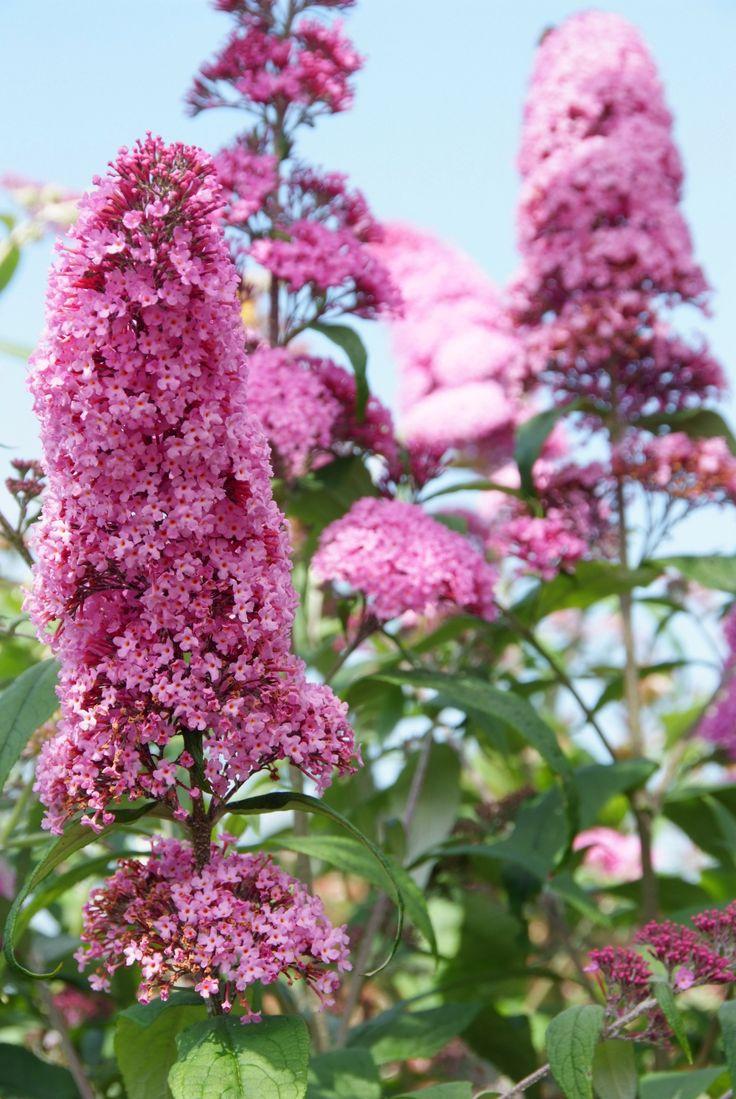 Buddleja davidii 'Pink Delight' - Vlinderstruik - De Tuinen van Appeltern