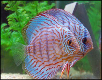 My breeding pair of discus fish in our article on how to for Live discus fish for sale