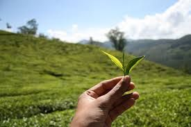 """Résultat de recherche d'images pour """"tea leaves"""""""