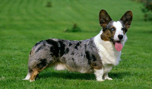 Cardigan Welsh Corgi Breed Information - Very good site with comprehensive information on many breeds.