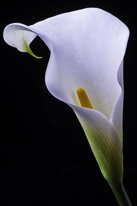 Shapely Calla Lily by Garry Gay