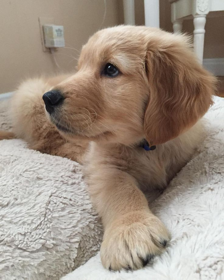 """(@berkleysgoldenlife) : """"One of the first few days in my new home, enjoying the comfy bed.... is it memory foam?!"""""""