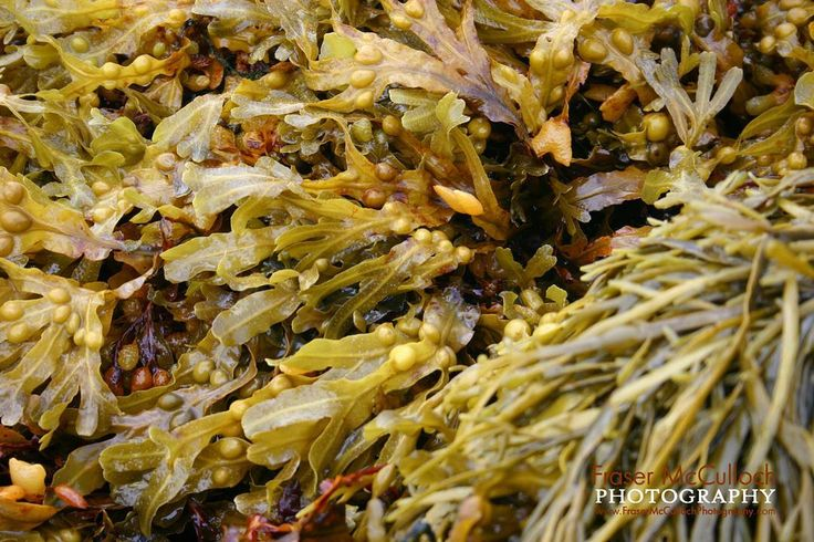 Seaweed 2  Almost mix of different types and textures of seaweed.    #seaweed #kelp #green #brown #slimy #wet #texture #patterns #sushi #beach #pop #sea #seaside #frasermccullochphotography