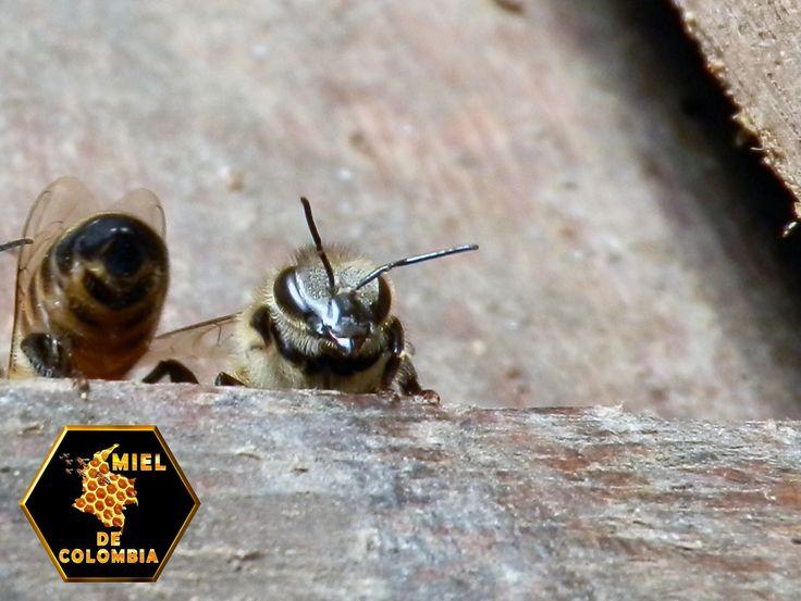 """Los ojos simples u ocelos son pequeñas estructuras fotorreceptoras presentes en muchos animales, que funcionan como órganos de la visión. El término ocelo procede del latín oculus (ojo) y literalmente significa """"ojito"""". En los insectos existen dos tipos de ocelos: los ocelos dorsales o simples que se encuentra en las formas adultas de muchos tipos de insectos y los ocelos laterales o stemmata, que existen solamente en las larvas de algunos órdenes. www.mieldecolombia.com"""