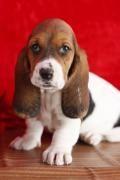Basset hound - Barcelona tienda mascotas Barcelona venta perros gatos