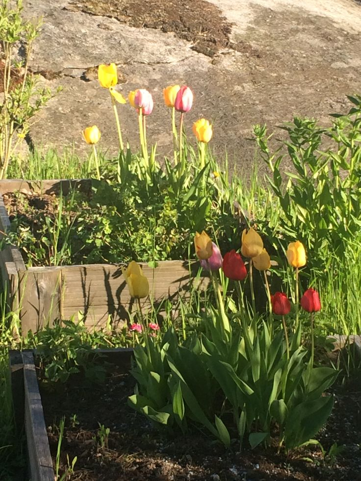 Tulips in girls' growth boxes