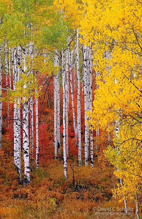 Aspen and maple trees in the fall. Wasatch Mountains, Utah. Photo by David Schultz