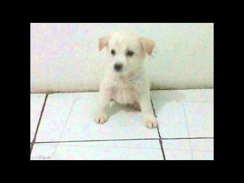 anjing dijual (mix maltese kintamani) - http://bali-traveller.com/anjing-dijual-mix-maltese-kintamani/