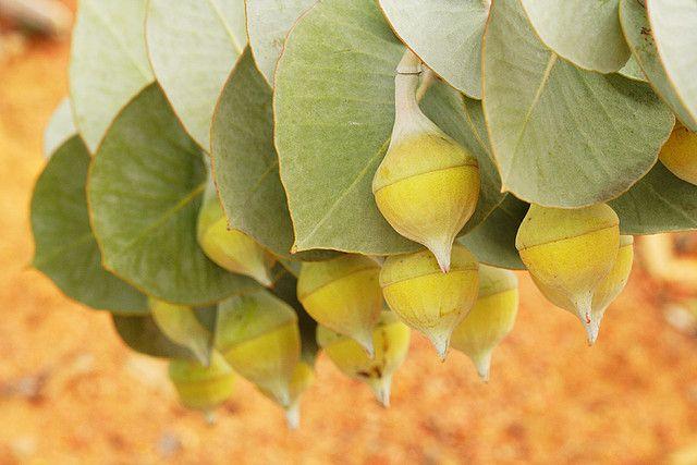 Eucalyptus macrocarpa  - Desert Rose