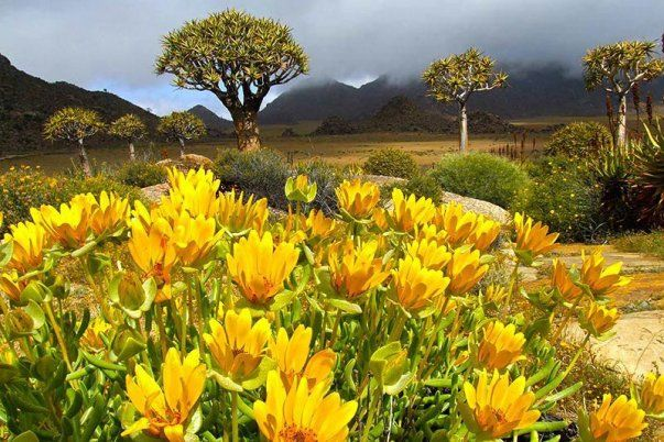 Namaqualand - Landscape with wild flowers and quiver trees (Aloe dichotoma)