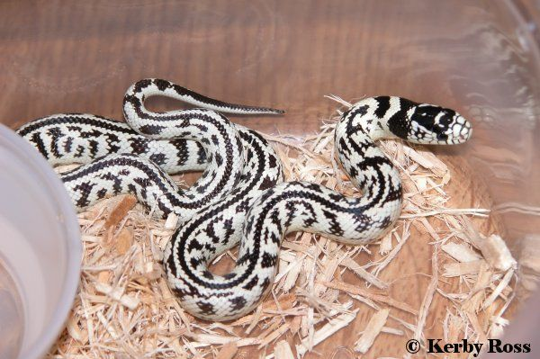 761 Best Snakes Images On Pinterest  Beautiful Snakes -6164