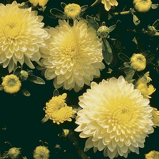Propagate (Chrysanthe)mum cuttings using rooting hormone (photo from @Neal Fine Gardening)