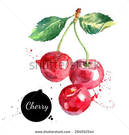 Hand drawn watercolor painting cherry on white background. Vector illustration of berries - stock vector
