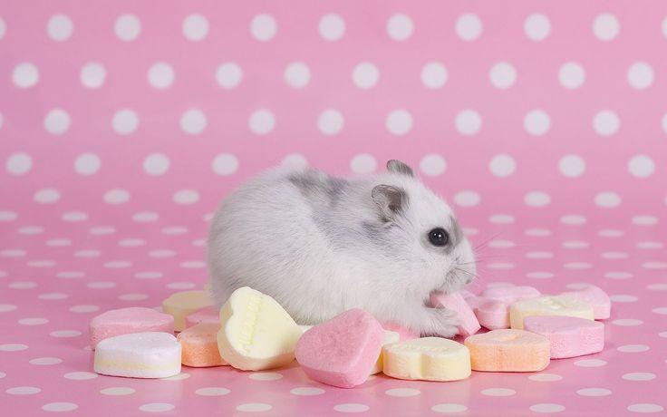 Hamster HD Wallpapers Backgrounds Wallpaper