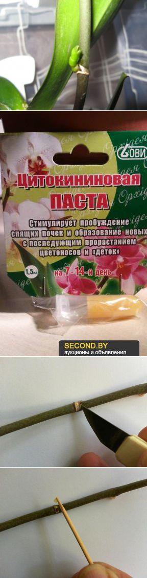 Размножение орхидеи: чудеса цитокининовой пасты