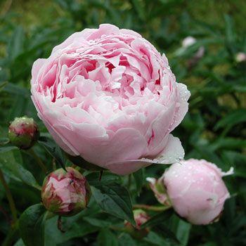 :: Paeonia lactiflora 'Sarah Bernhardt' - Edel-Pfingstrose :: Stauden :: Pfingstrosen :: Duftende Pfingstrosen - Pflanzenversand Gaissmayer