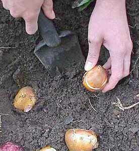 How-To Project: Planting Tulips by National Gardening Association Editors