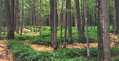 the eXtension Forest Farming Community of Practice shares information about resources, best practices, markets, & policies of forest farming - growing & selling high-value non-timber forest products.     www.eXtension.org/forest_farming