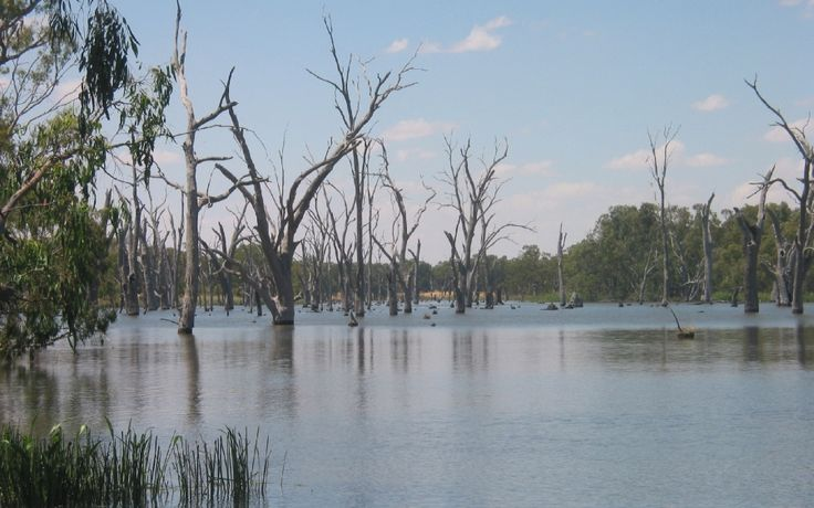 """This is what happens to river red gums when they are flooded for too long. Murray River, Australia, upper end of a large dam.  River red gums can stand having """"wet feet"""" for periods of time, but not permanently."""