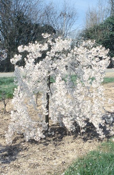 17 best images about plants i want on pinterest gardens for Weeping garden trees