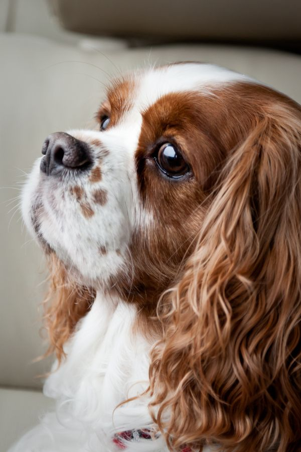 Cavalier King Charles makes me think of the movie Lady and the Tramp, the Disney dog- heroine I loved.