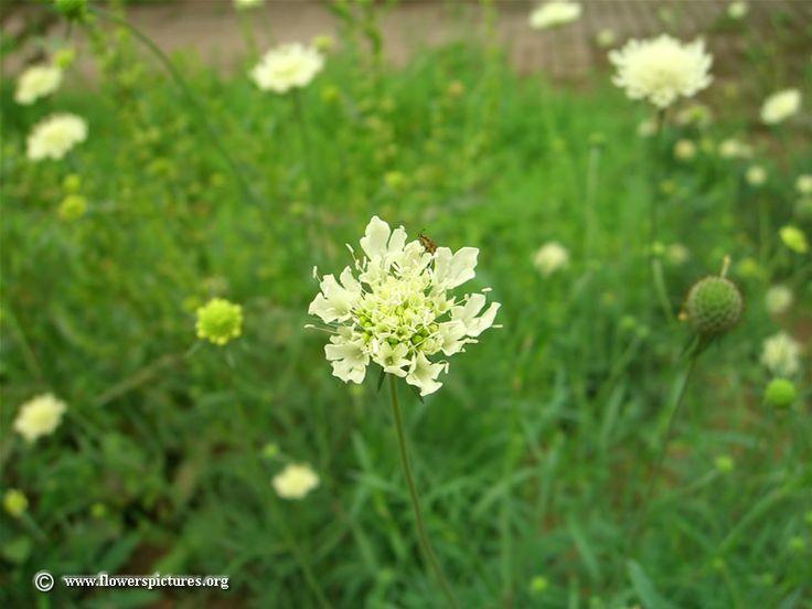 White scabiosa flower picture