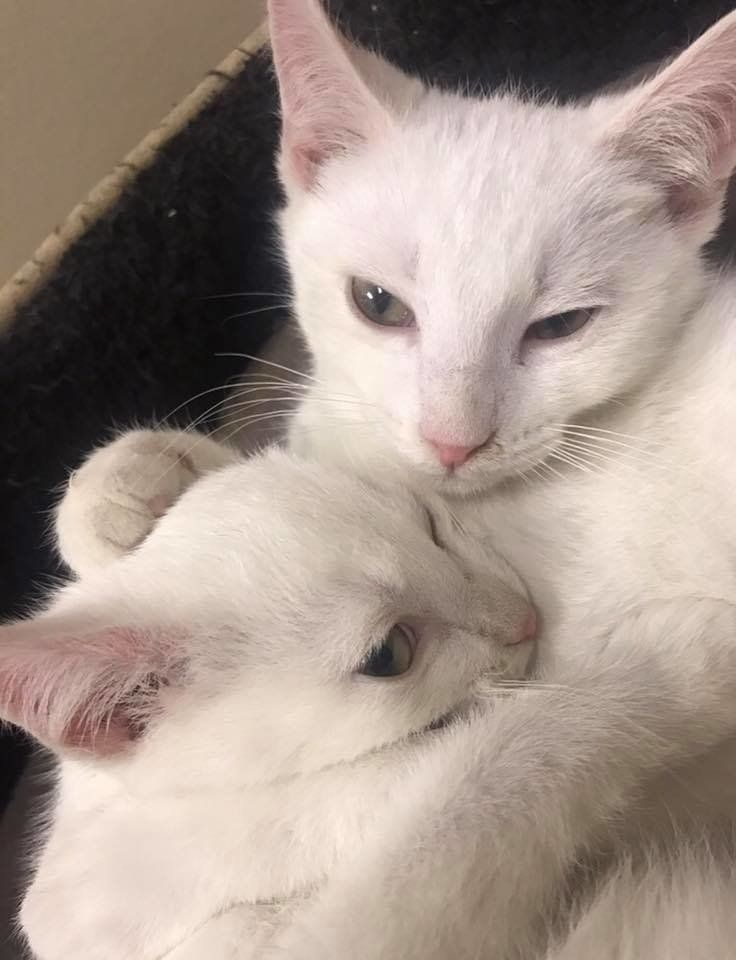 Woman Went To Adopt These Two Kittens But Couldn T Leave Their Other Brother Love Meow Kittens Grey Kitten Adoption