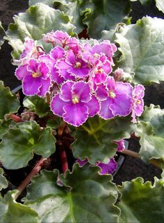 Watering and Humidity for African Violets