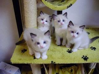猫てん2 猫専門ブリーダー