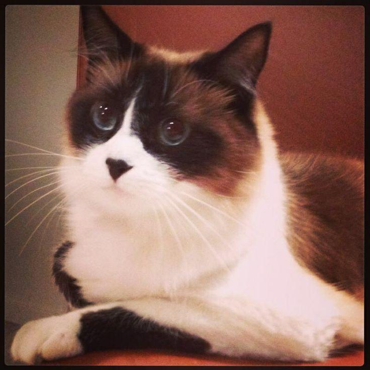 Matilda gatica ragdoll