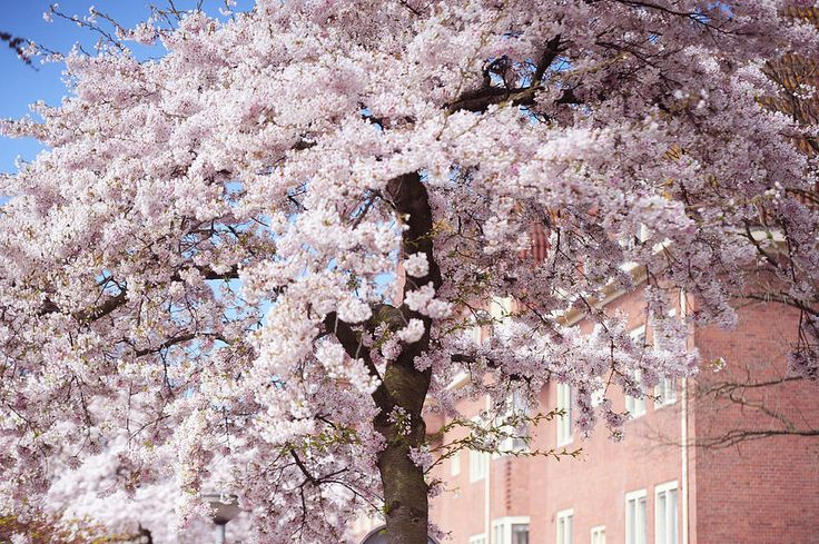 In Its Glory. Pink Spring In Amsterdam by Jenny Rainbow