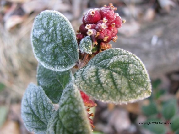 Frosty Morning Berries