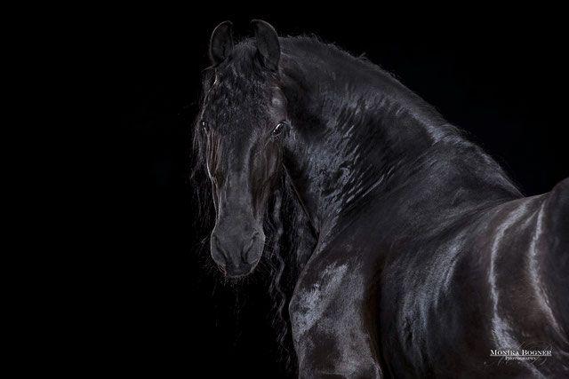 Friese Pferde Im Studio Vor Schwarzem Hintergrund Horse